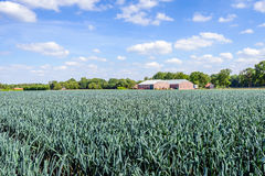 Organically grown leek plants in a large field Royalty Free Stock Images