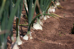 Organically grown onions. With chives in the soil in the row. Organic farming Stock Images