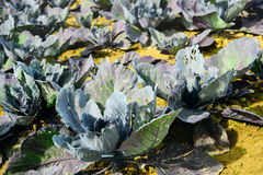 Organically grown red cabbage plants from close Royalty Free Stock Photo