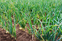 Organically grown shallot onions in open ground from close Stock Photo