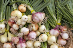 Organically Grown Spring Onions Bulbs Stock Photo