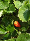 organically grown strawberries royalty free stock image