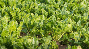 Organically grown sugar beet plants from close Royalty Free Stock Photo