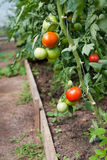 Organically grown tomatoes. In the greenhouse. Organic farming Royalty Free Stock Image