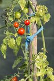Organically grown tomatoes Royalty Free Stock Image