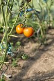 Organically grown tomatoes Stock Images