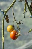 Organically grown tomatoes Royalty Free Stock Images