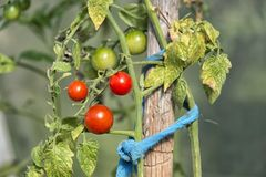 Organically grown tomatoes Stock Photos