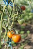 Organically grown tomatoes Royalty Free Stock Photos