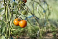 Organically grown tomatoes Royalty Free Stock Photo