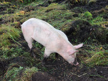 Organically kept pig. An organically kept pig is standing on a meadow and rummaging in the ground Stock Photo