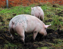 Organically kept pigs. Two pigs on an organic farm are rummaging in the ground Stock Photos