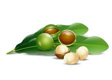 Organico naturale del fondo bianco delle noci di macadamia Immagini Stock