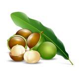 Organico naturale del fondo bianco delle noci di macadamia Immagine Stock Libera da Diritti