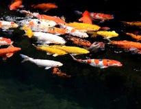 Organico naturale di belle variazioni di colore di carpio del Cyprinus di nuoto di Koi Carps Fish Japanese Immagine Stock