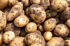 Organics potatoes Royalty Free Stock Photos