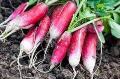 Free Organics Radishes From Garden Royalty Free Stock Photography - 40857377