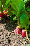 Organics radishes from garden Stock Photo