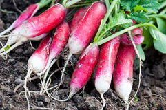Organics radishes from garden Royalty Free Stock Photography