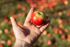 organiczne warzywa Świezi organicznie jabłka w rękach rolnik obraz royalty free