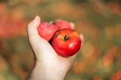 organiczne warzywa Świezi organicznie jabłka w rękach rolnik obrazy stock
