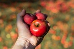organiczne warzywa Świezi organicznie jabłka w rękach rolnik zdjęcie royalty free