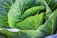 Organicznie Świeża zieleni głowa kapusta w ogrodowej zbliżenie kultywaci kapusta, żniwa pojęcie Organicznie warzywa na gospodarst Obrazy Royalty Free