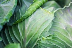 Organicznie Świeża zieleni głowa kapusta w ogrodowej zbliżenie kultywaci kapusta, żniwa pojęcie Organicznie warzywa na gospodarst Obraz Royalty Free