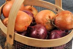 organicznie świeże cebule niektóre zdjęcia royalty free