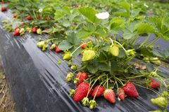 Organicznie, świeżej owoc truskawki pole, Emiralem, Izmir, Turcja/ zdjęcie stock