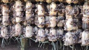 Organicznie żyd ucho gospodarstwo rolne przy Don Duong okręgiem, Da Lat miasta, zwiania Dong prowincja, Wietnam (Auricularia auri zbiory wideo