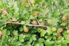 Organicznie agresty na krzaku Obraz Stock