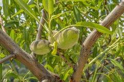 Organicznie brzoskwini Lat - Prunus persica Fotografia Stock