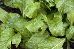 Organicznie Chard Fotografia Stock