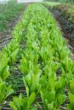 Organicznie Cos sałatka w ogródzie Zdjęcie Stock