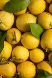 Organicznie cytryny z liśćmi i trzonami Zdjęcia Stock