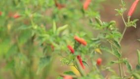Organicznie czerwień i zielony gorący chili pieprzu panning z obiektywem migoczemy i brzmimy zbiory wideo