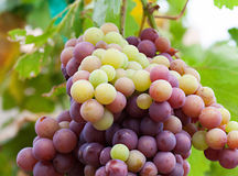 Organicznie czerwoni winogrona Obrazy Royalty Free