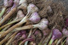 Organicznie czosnek zbierał przy ekologicznym gospodarstwem rolnym na nieociosanym drewnie Zdjęcie Stock