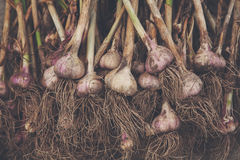 Organicznie czosnek zbierał przy ekologicznym gospodarstwem rolnym na nieociosanym drewnie Obraz Stock
