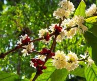 organicznie fasoli kawa Obraz Stock