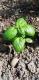 Organicznie gospodarstwo rolne, mały basilu przyrost w ziemi zakończeniu up od above obraz royalty free