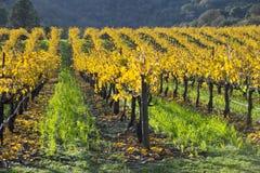 Organicznie gronowy winnica, Kalifornia Obraz Royalty Free