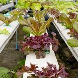 Organicznie hydroponic jarzynowego ogródu Tajlandia merket Zdjęcie Stock