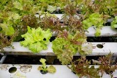 Organicznie hydroponic jarzynowego ogródu Tajlandia merket Obraz Royalty Free