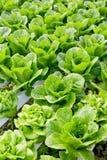 Organicznie hydroponic jarzynowy kultywaci gospodarstwo rolne Obraz Stock