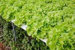Organicznie hydroponic jarzynowy kultywaci gospodarstwo rolne Fotografia Royalty Free