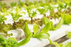 Organicznie hydroponic jarzynowy kultywaci gospodarstwo rolne, Czerwony dąb, zielony dąb obrazy royalty free