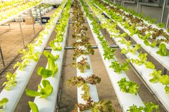 Organicznie hydroponic jarzynowy kultywaci gospodarstwo rolne, Czerwony dąb, zielony dąb zdjęcie royalty free