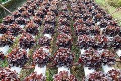 Organicznie hydroponic jarzynowy ogród zdjęcie stock